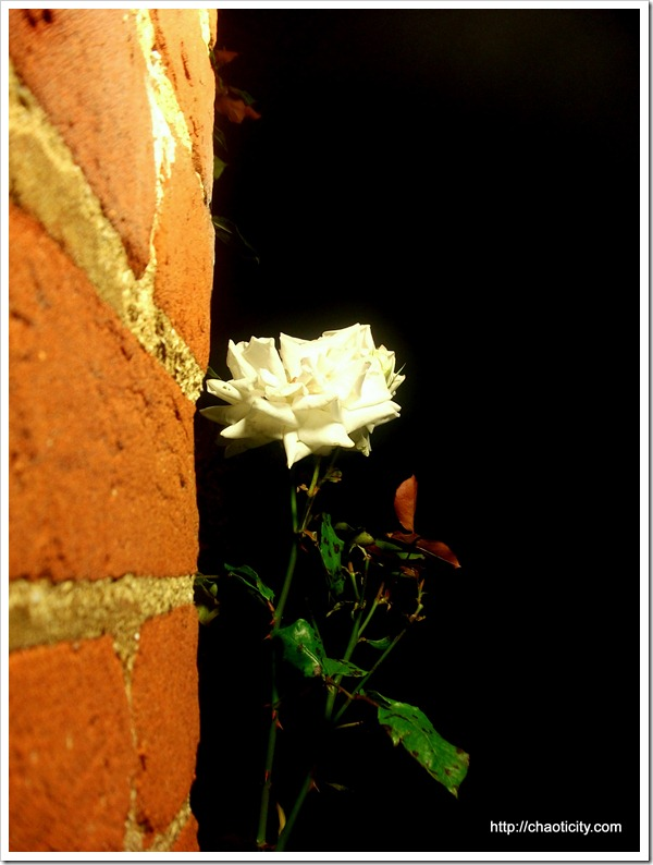 a wall - a rose